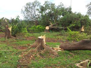 Obras para a Copa provocam derrubada de árvores com meio século de existência